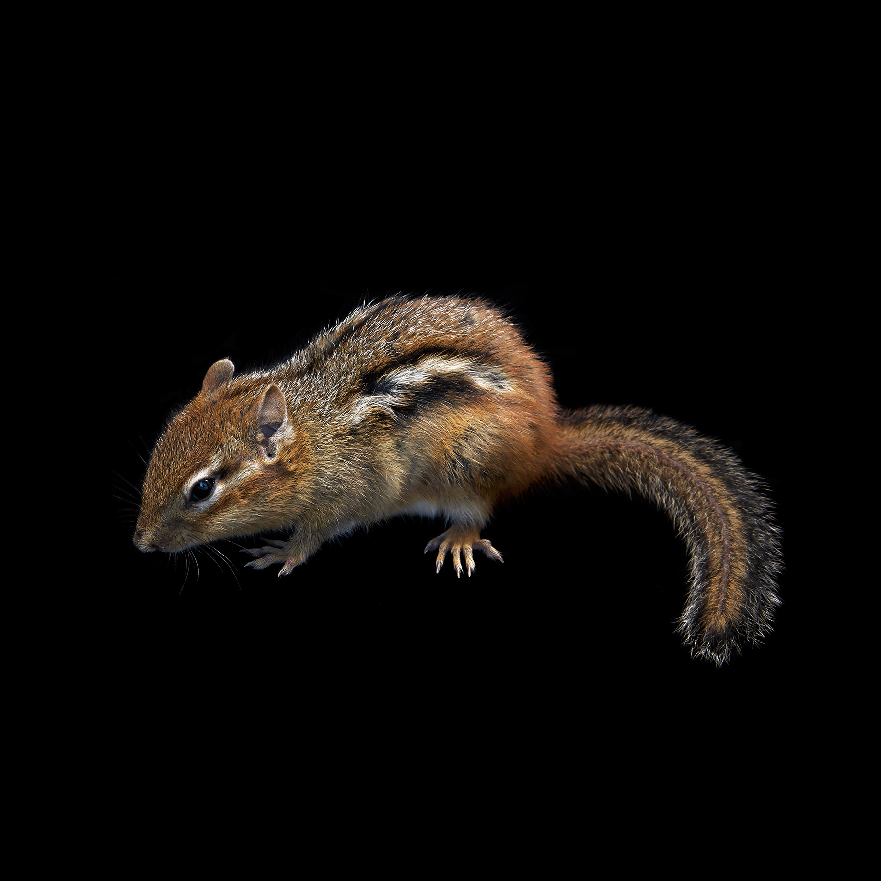 CHIPMONK-RODENT-ANIMAL-©-JONATHAN-R.-BECKERMAN-PHOTOGRAPHY.jpg