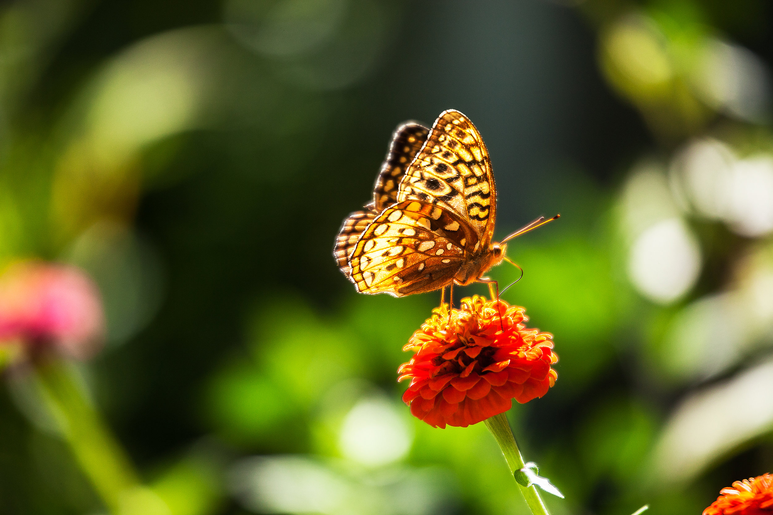 BUTTERFLY-IN-THE-SUMMER--ZINNIA-FLOWER-GARDEN-01-©-JONATHAN-R.-BECKERMAN-PHOTOGRAPHY.jpg