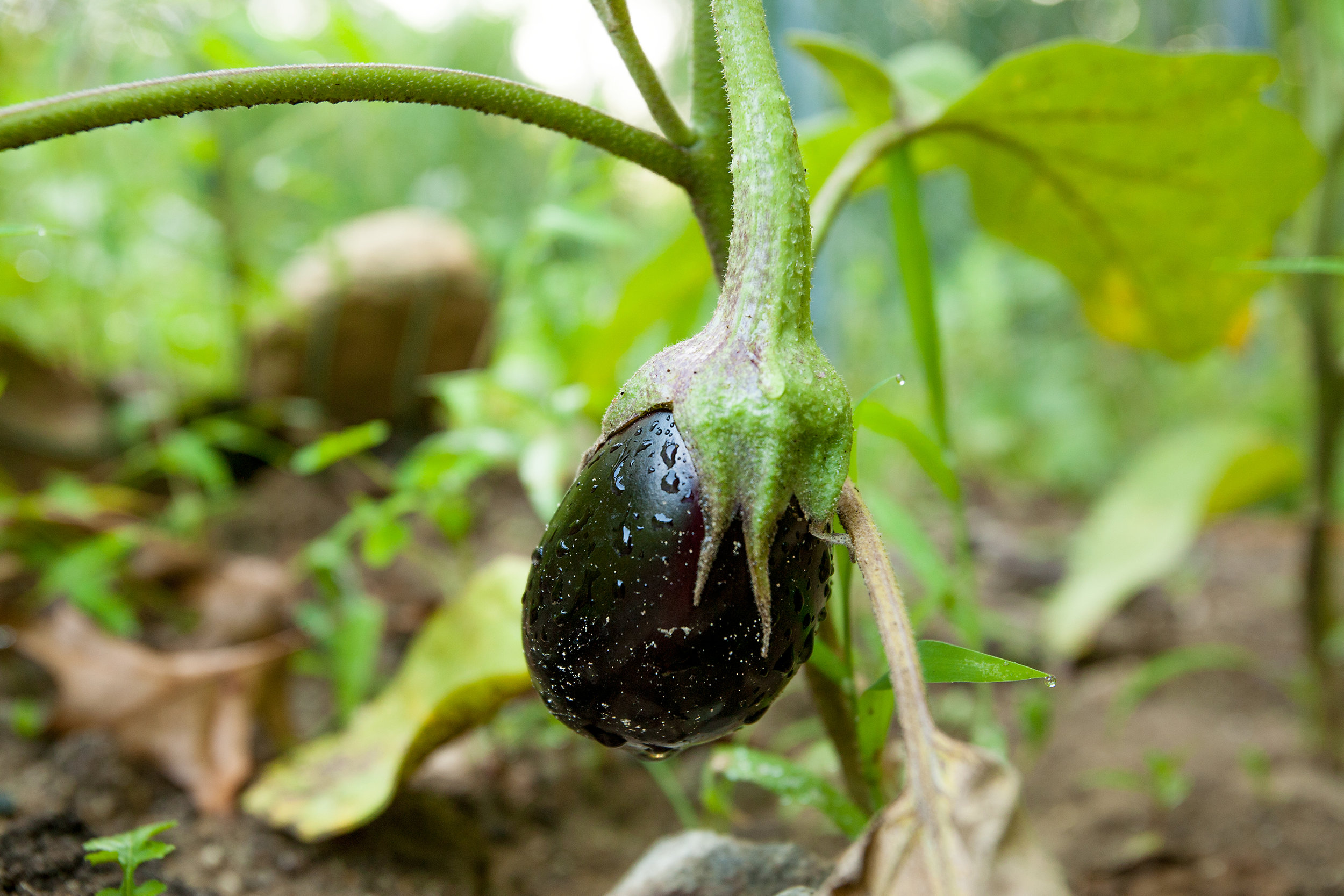 GARDEN-AT-SACRED-GROUND-FARM-EGGPLANT 080114-©-JONATHAN-R.-BECKERMAN-PHOTOGRAPHY-34.jpg