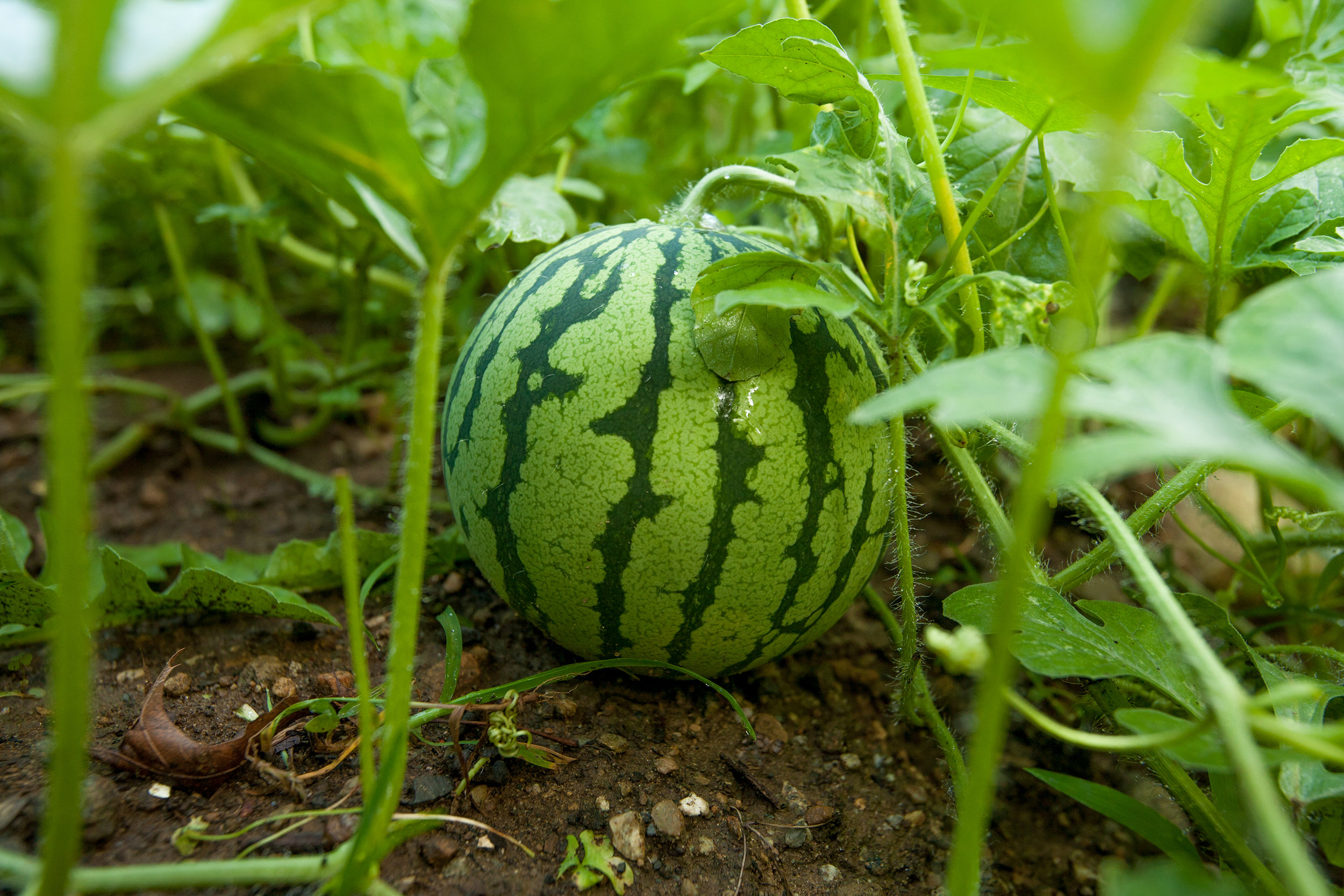 GARDEN-AT-SACRED-GROUND-FARM-WATERMELON-080114-©-JONATHAN-R.-BECKERMAN-PHOTOGRAPHY-39.jpg