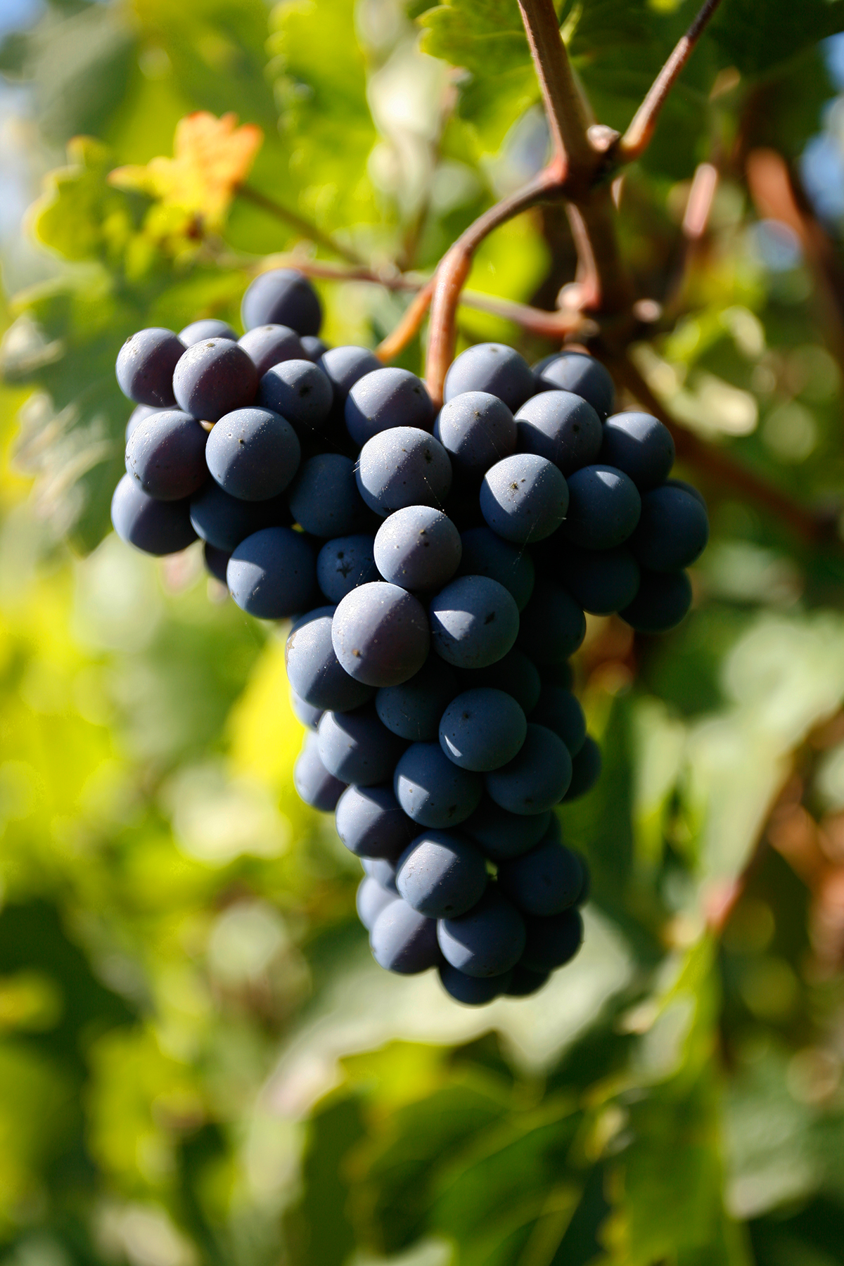 WINE-GRAPES-ON-THE-VINE-VINYARD-NAPA-VALLEY-JONATHAN-BECKERMAN-PHOTOGRAPY_003.jpg