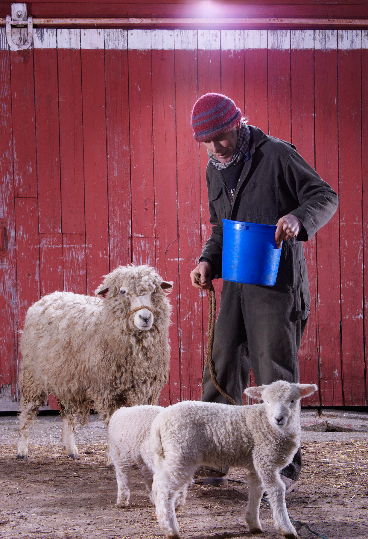 CHRIS HOPKINS WITH ROMNEY SHEEP AT STONEWALL DAIRY FARM © JONATHAN R. BECKERMAN PHOTOGRAPHY.JPG