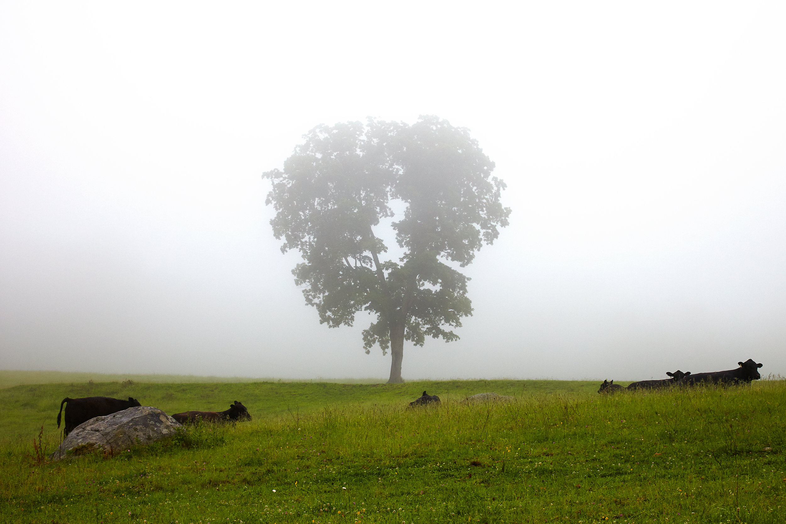 COW-IN-FOGGY-FIELD-02-WITH-TREE-FARM-LANDSCAPE-BY-JONATHAN-R.-BECKERMAN-PHOTOGRAPHY-NEW-MILFORD-CONNECTICUT.jpg