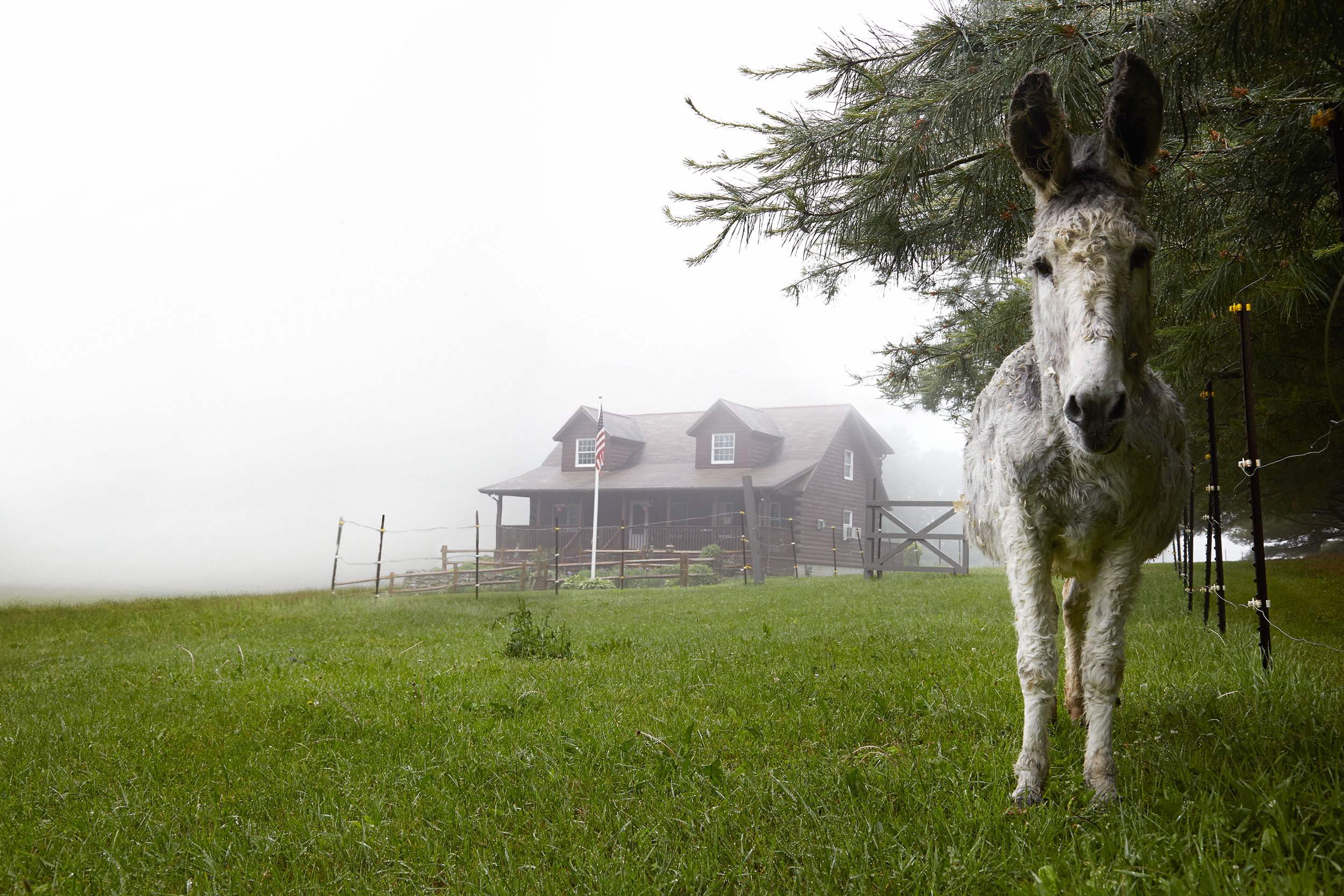 WHITE-DONKEY-ON-CONNECTICUT-FARM-LANDSCAPE-©-JONATHAN-R.-BECKERMAN-PHOTOGRAPHY-060516_29.jpg