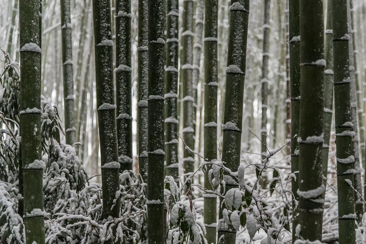 Banboo Groves - Asharimaya - Kyoto