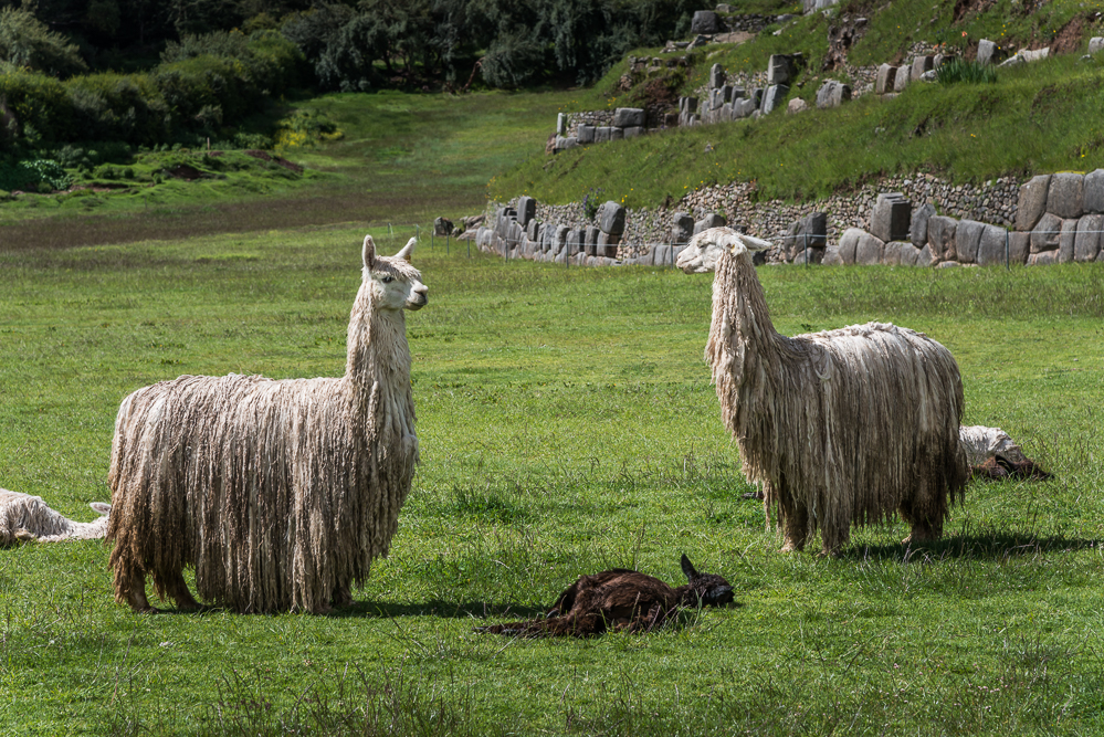 The lamas were just hanging out in the large field at the base of the ruins.
