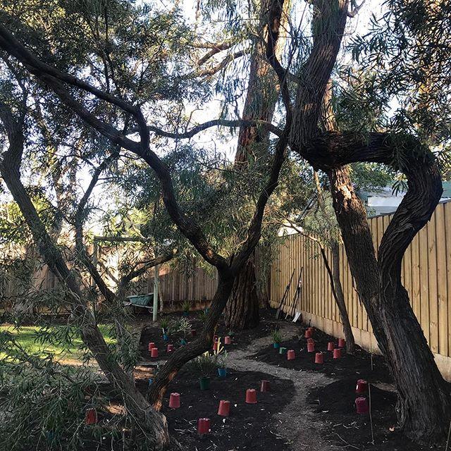 Setting out beneath these wonderfully twisted Callistemons . . . . #callistemon #garden #gardendesign  #gardendesigner #landscapedesign #landscapedesigner #perth #westernaustralia #hanburydesign