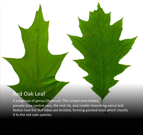 Red Oak Leaf v2.jpg