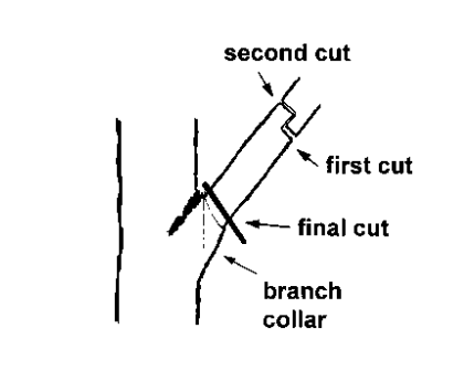 Branch collar & Three- Cut Method  (pc: Colorado State Extension Office )