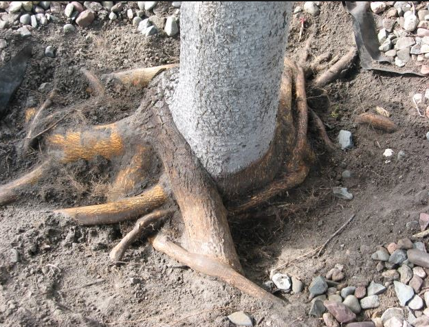 Example of Girdling Roots