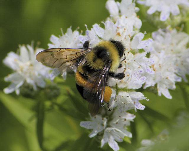 Rusty Patched Bumble Bee  ( pc: wpr..org )