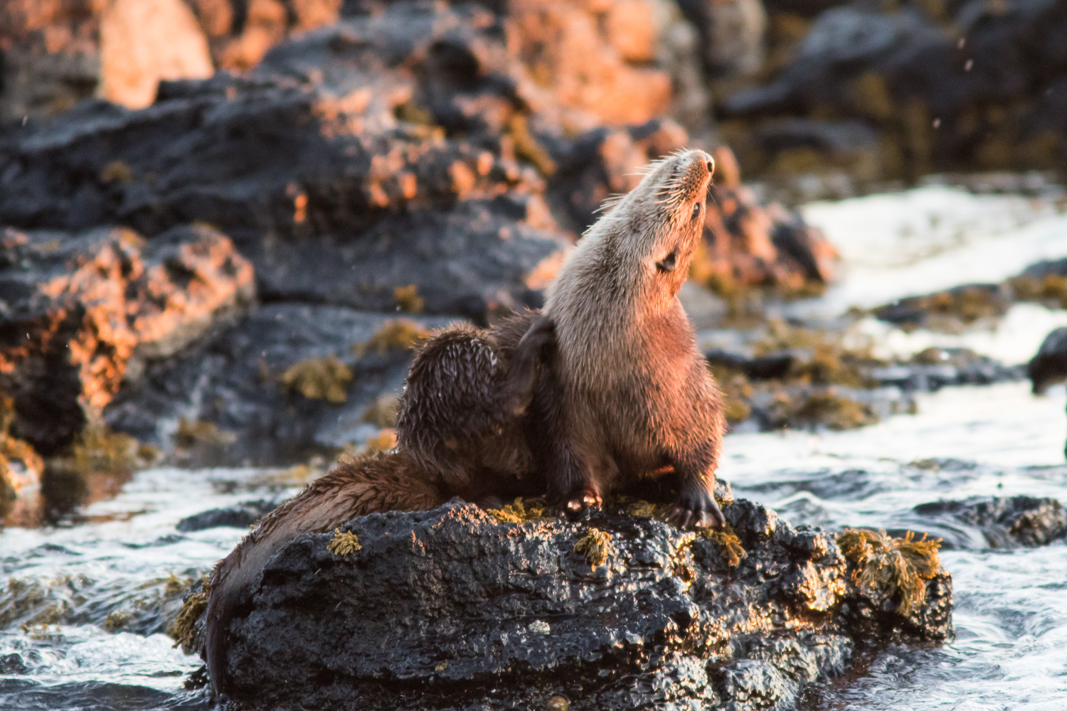 Otter Grooms in Dusk Light