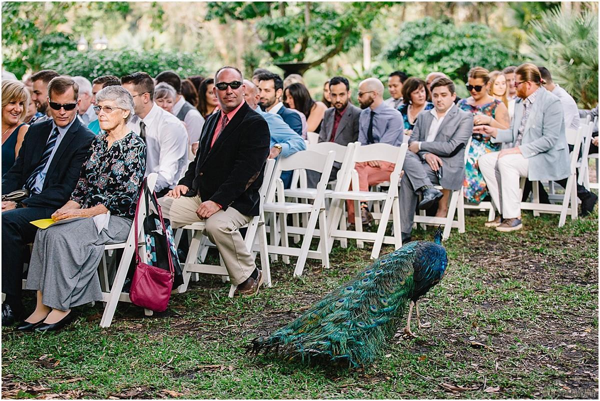 Peacock crashes ceremony at South Florida wedding