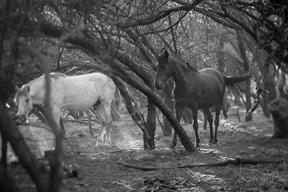 white-blackhorses copyweb72.jpg
