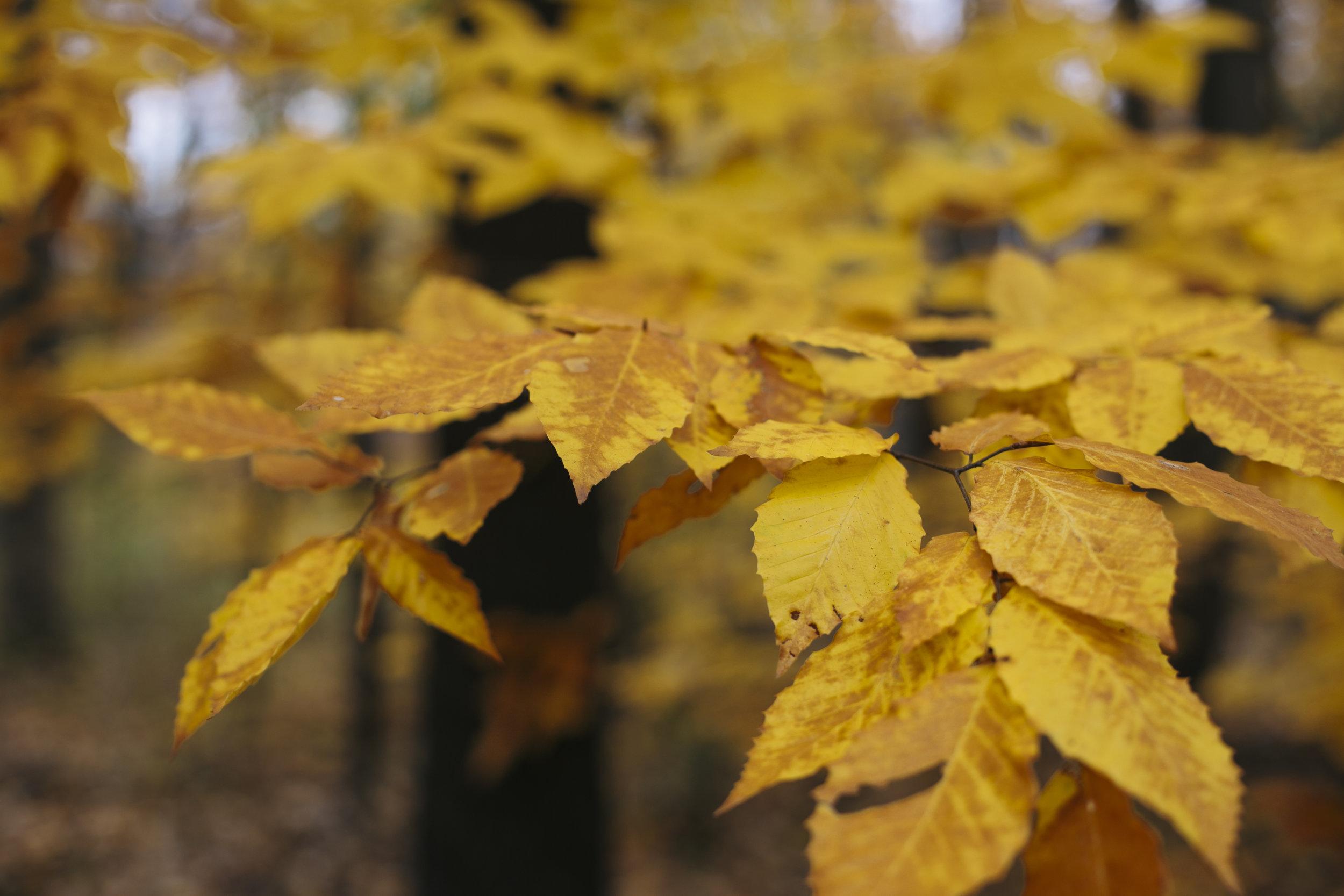 autumn golden-2.jpg