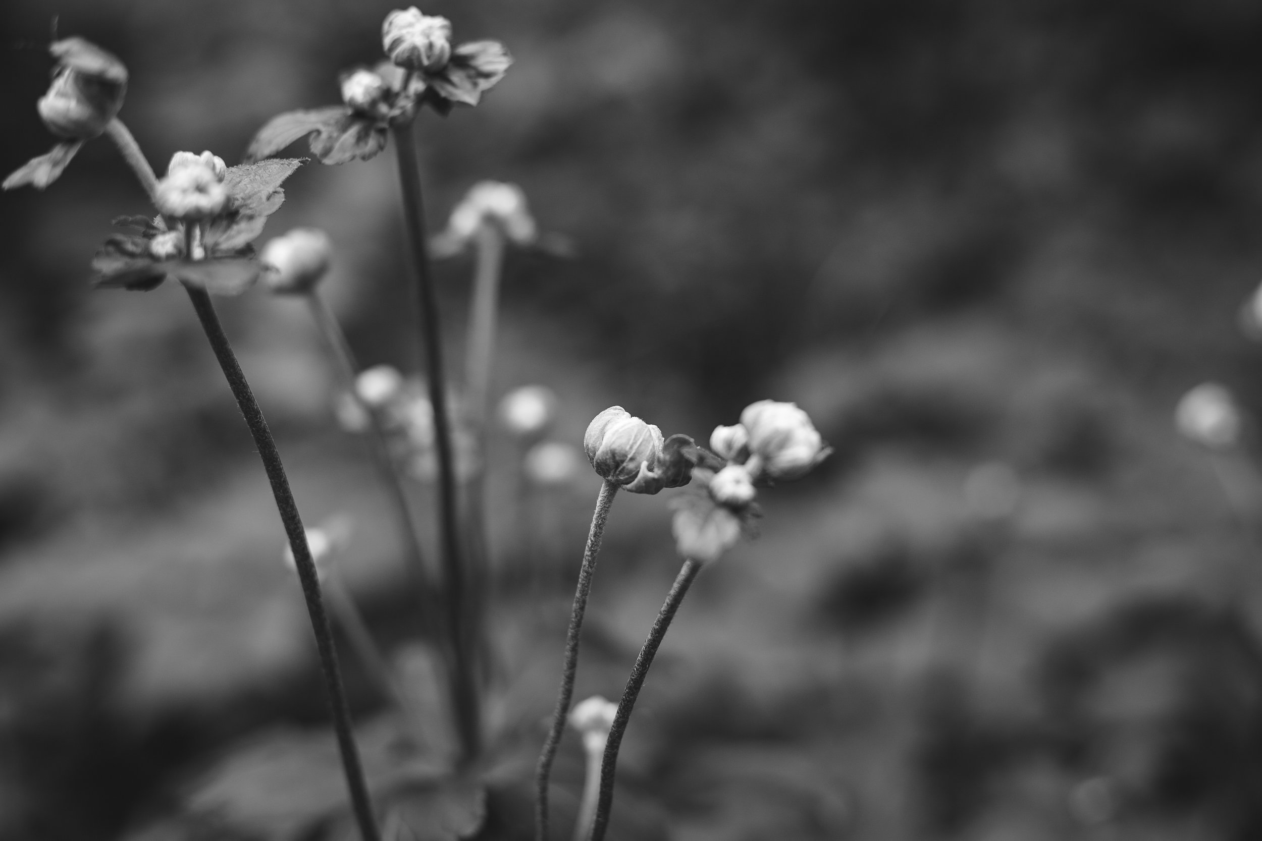b&w flowers 3.jpg