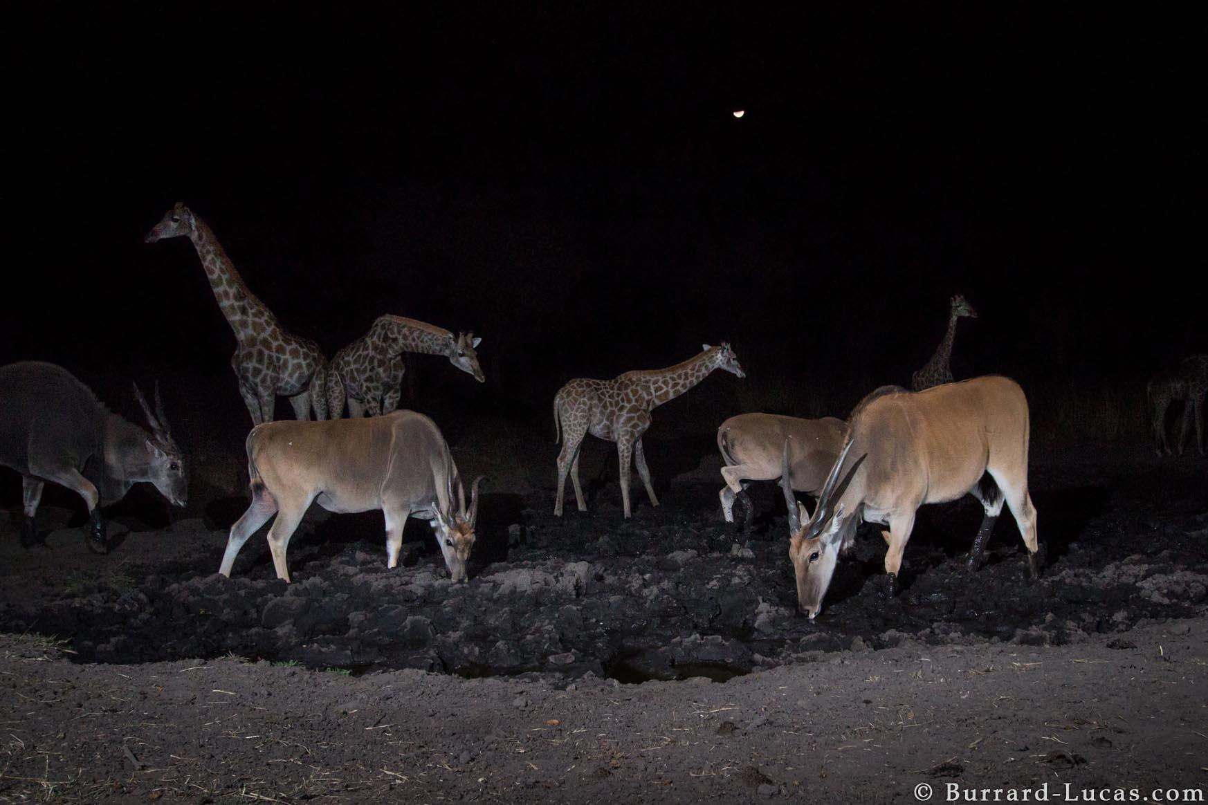 Kaya Safari B-L Giraffe and Eland.jpg