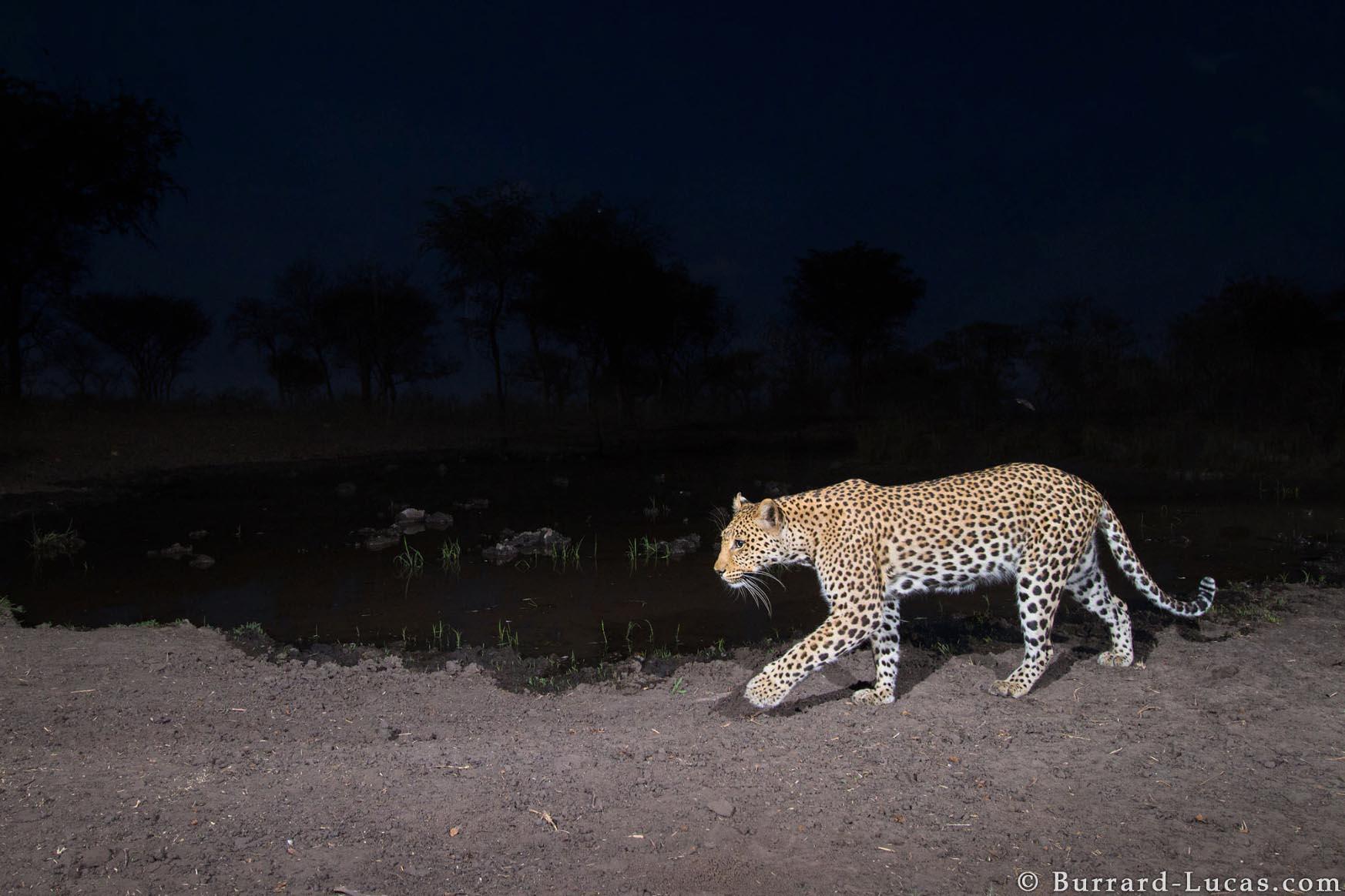 Kaya Safari B-L Leopard.jpg