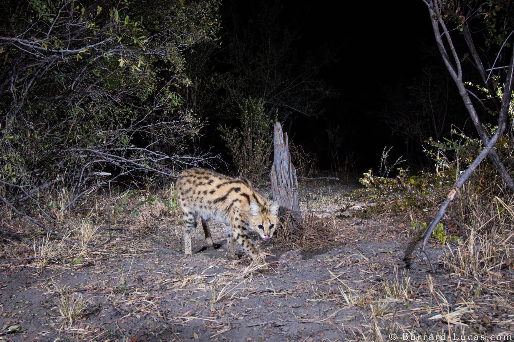 Kaya Safari B-L Serval Cat.jpg