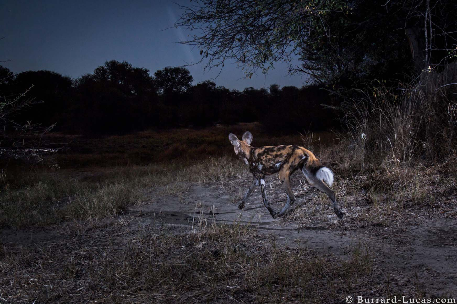 Kaya Safari B-L Wild Dog.jpg