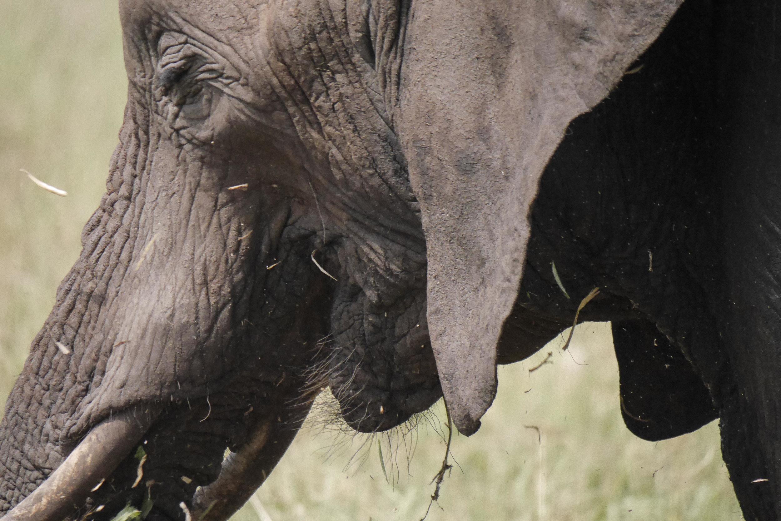 Elephant Chomping Grass.jpg