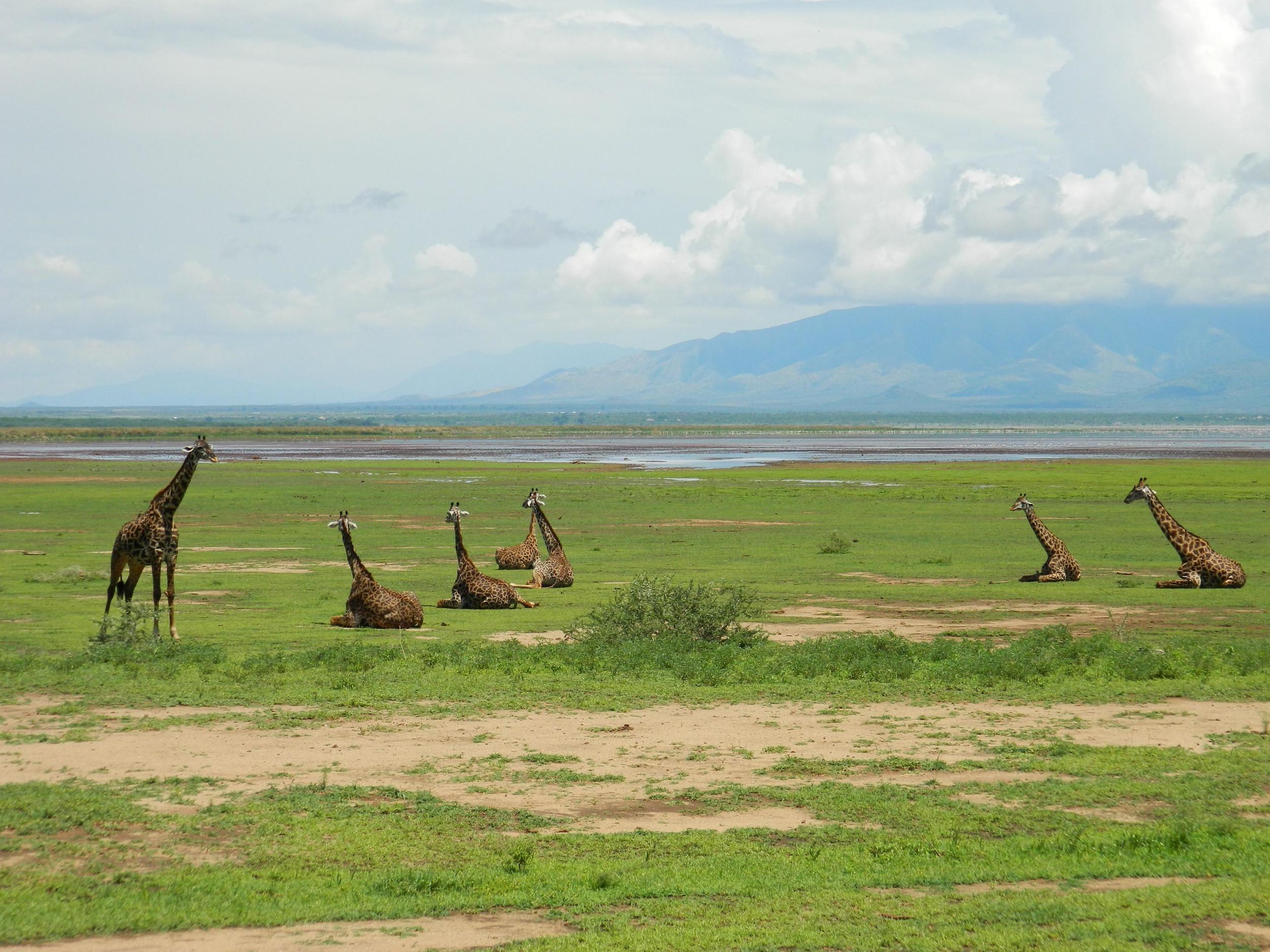 Kaya Safari - Abdenbi & Saliha - Giraffe Lake Manyara.jpg