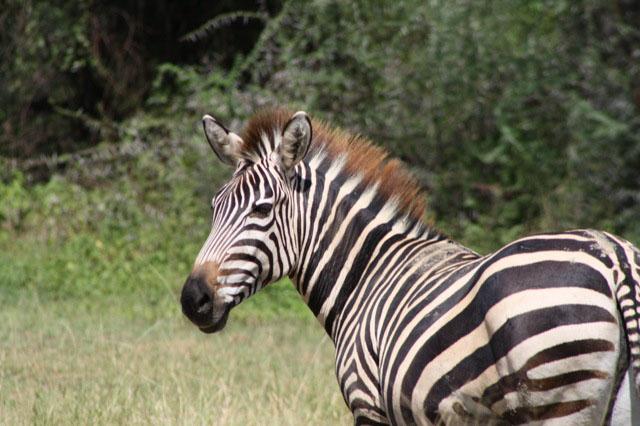 Fred & Ingun Zebra.jpg
