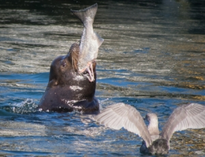 "Sea lion eating salmon at Ballard Locks in 2012. Fans on Pinterest identify him as ""Herschel."" (Photo by Ingrid Taylar.; used with permission)"
