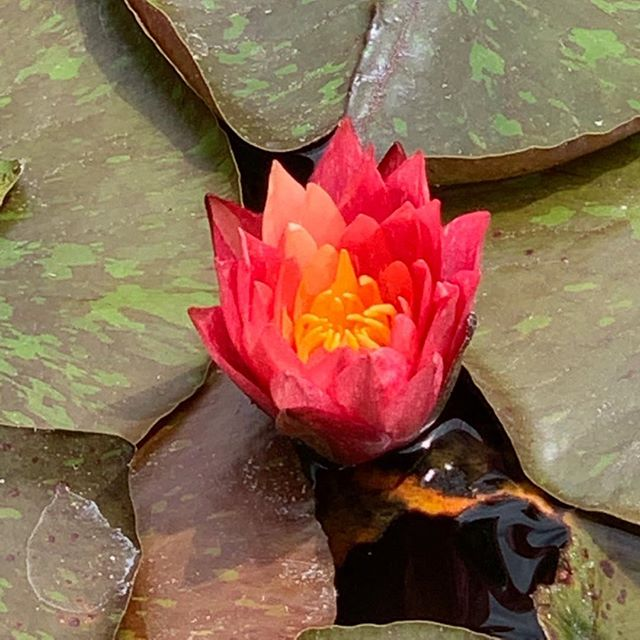 At the pond today. . . . #inspiration #dianedorseydesigns #lotus