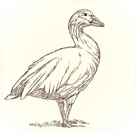 Goose sketch.jpg
