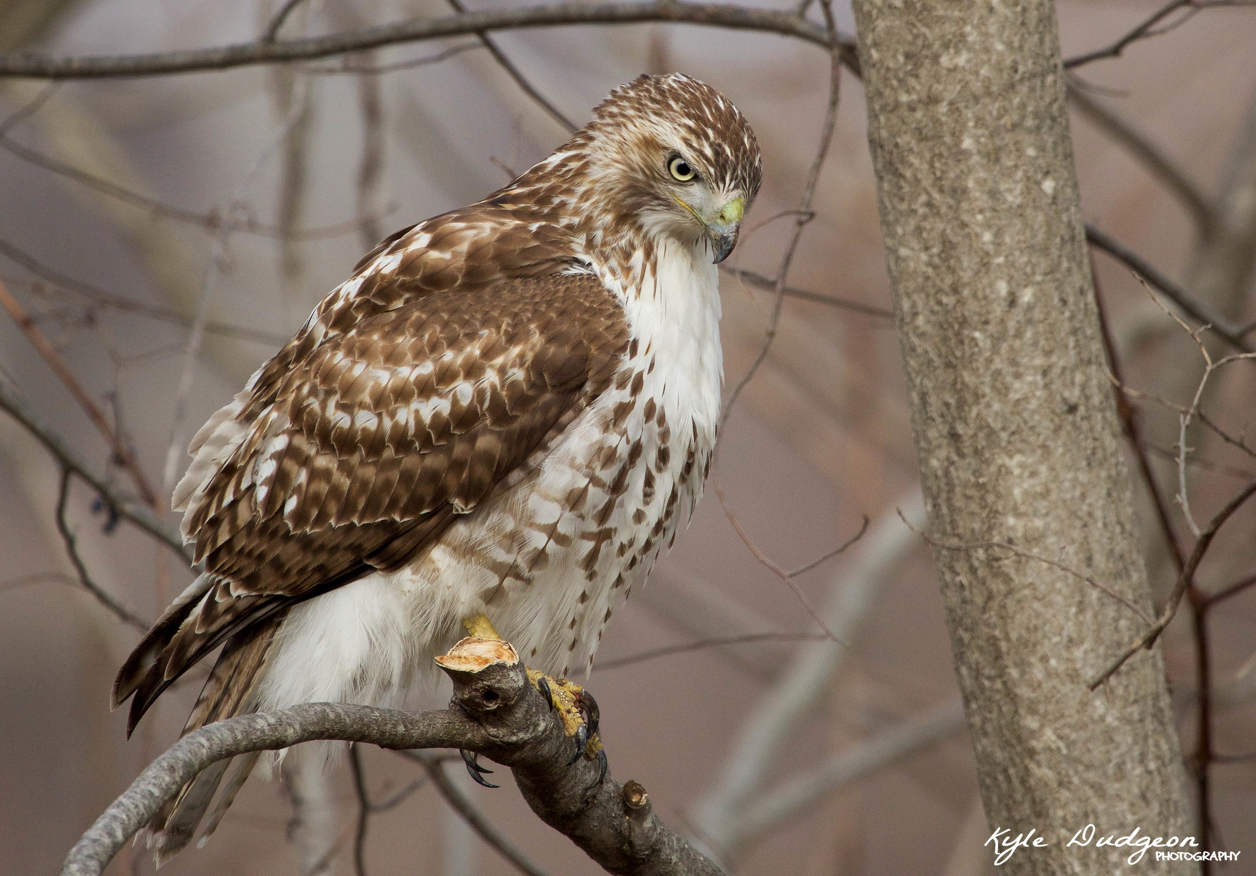 Red-tailed Hawk 3.jpg