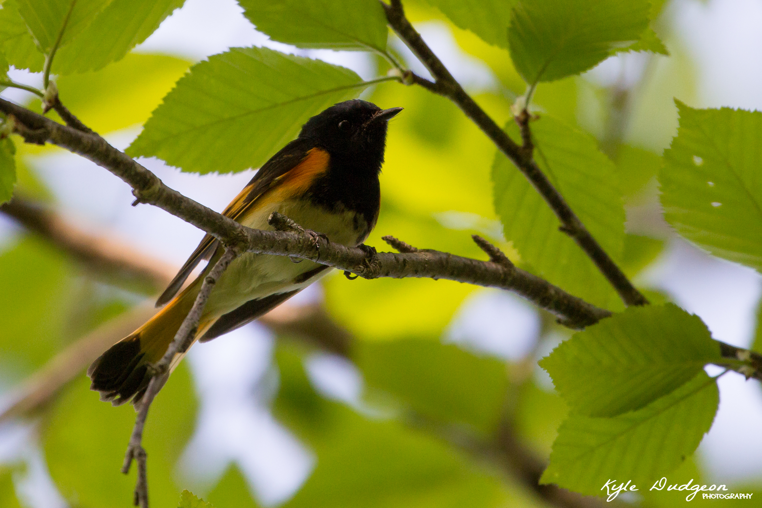 A male American redstart at Sterling Forest State Park 5/20/16.