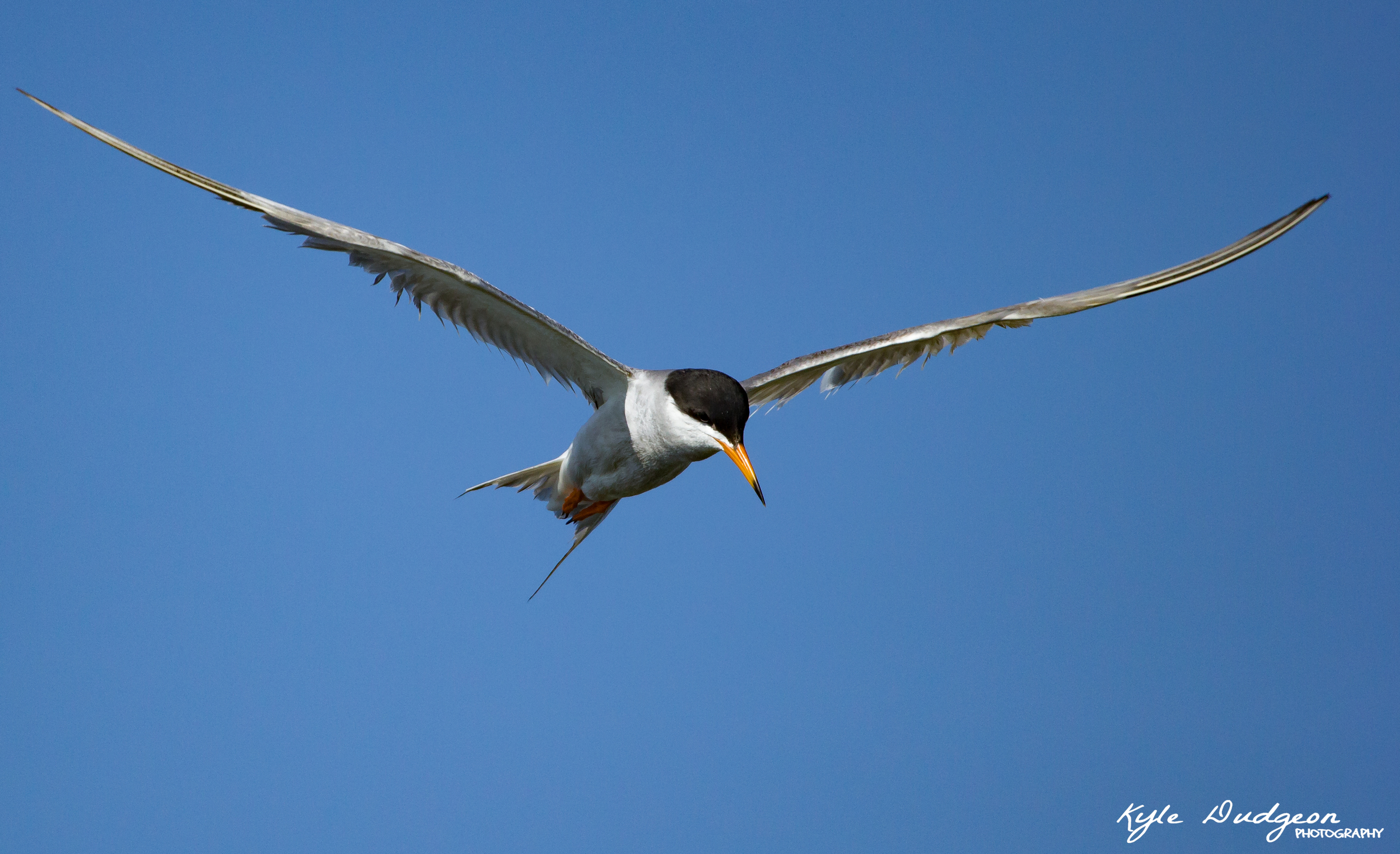 Forster's Tern on the hunt