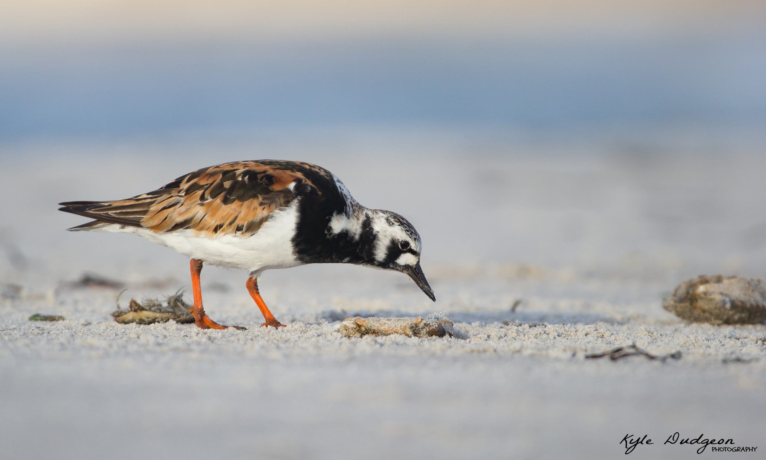 Ruddy turnstone in first light. This was the first shot of the day one morning in Barnegat Light for me, and I really like the way it turned out. 8/4/16.