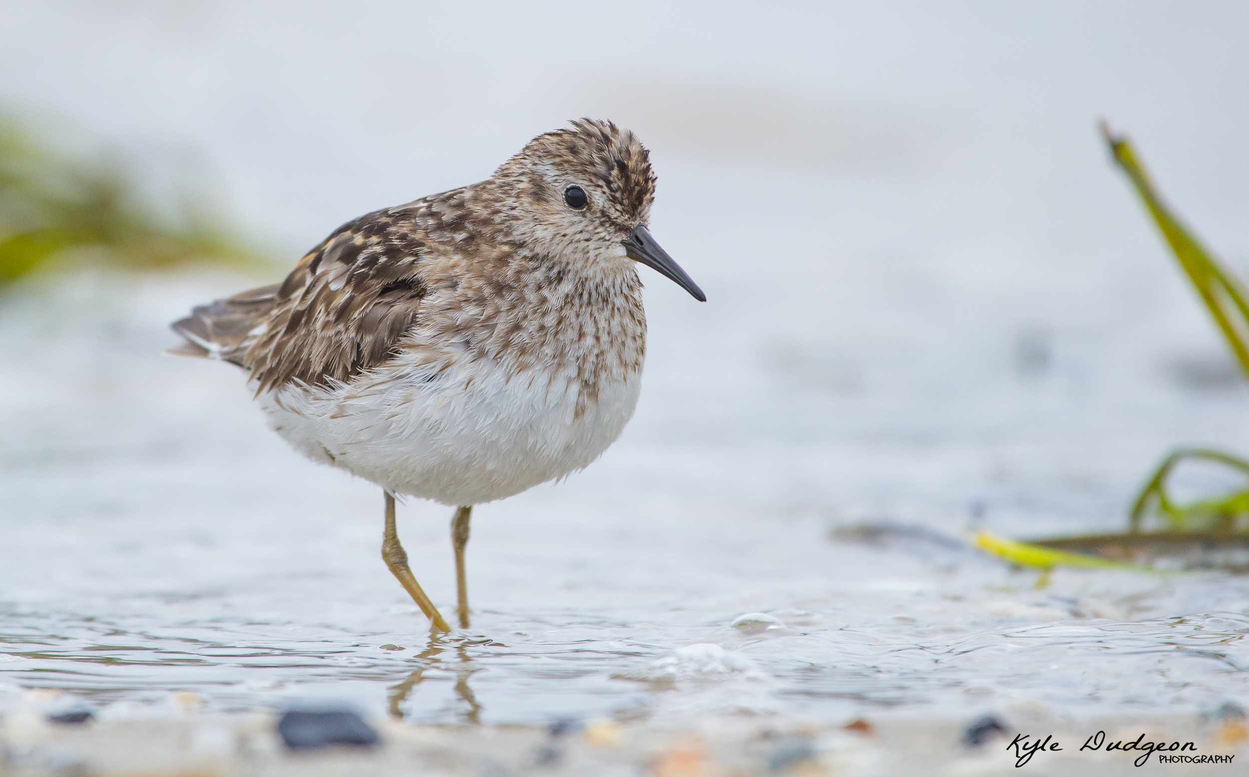 I photographed this least sandpiper in Barnegat Light as well. This bird was super cooperative, just walking right up to me as I laid in the sand. 8/3/16.