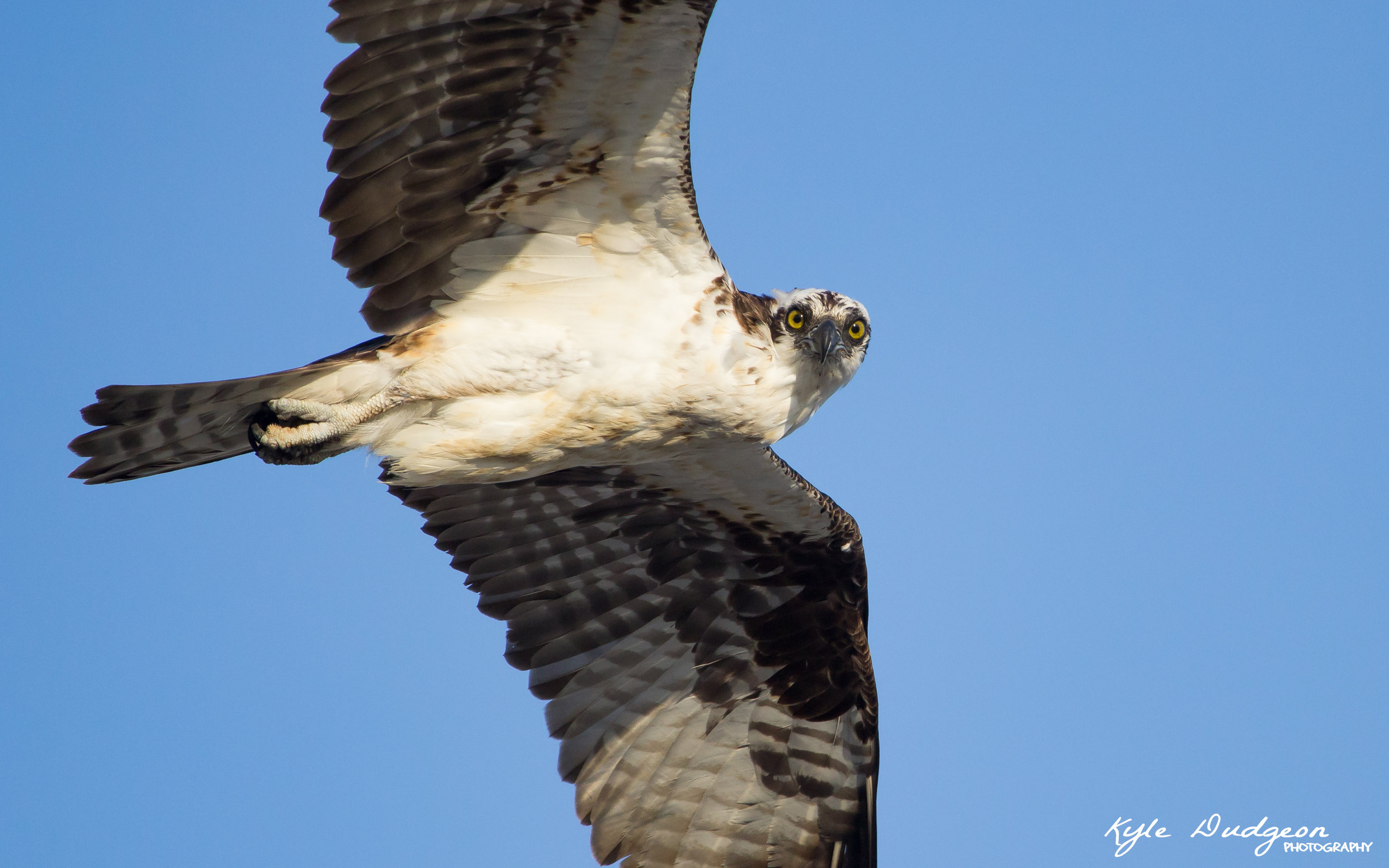 Some of you may recognize this as the profile picture for my Facebook page. Osprey at Barnegat Light SP. 7/12/16.