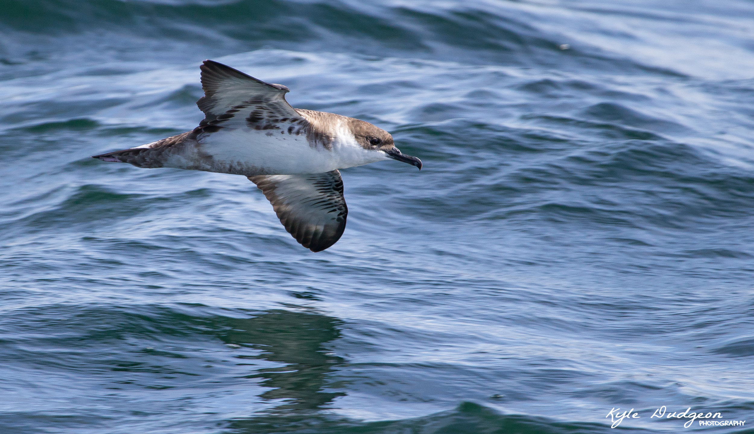 This is my favorite shot of the day. A great shearwater cutting through the air. 9/17/16.