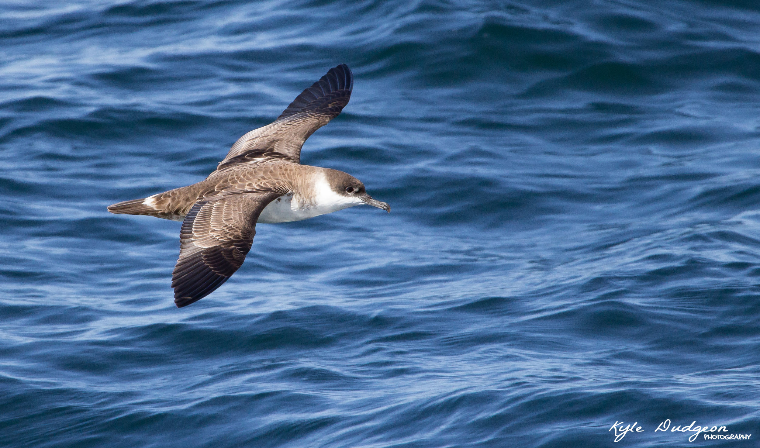 Great shearwater topside. 9/17/16.