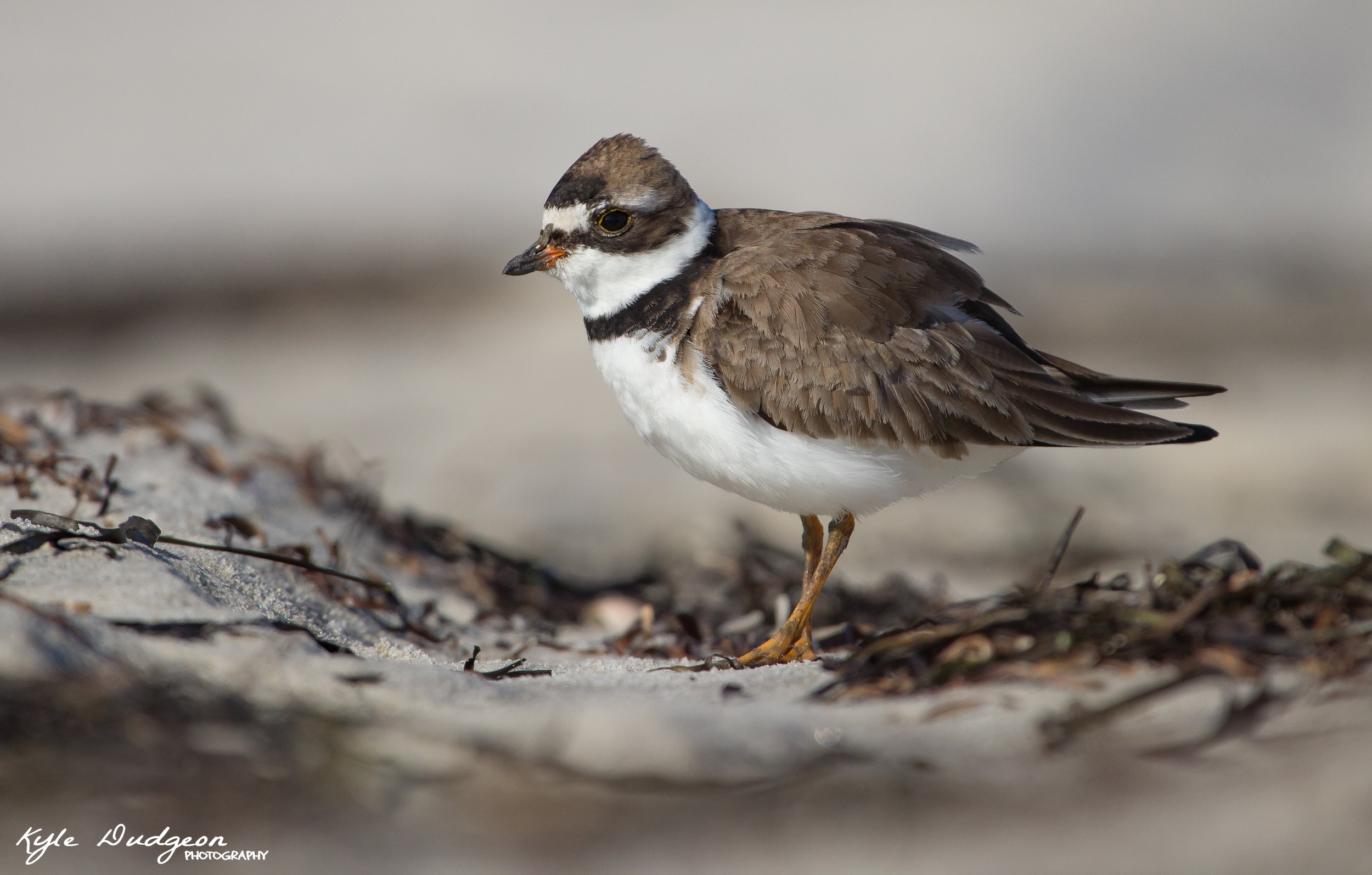 Semipalmated plover in rack.