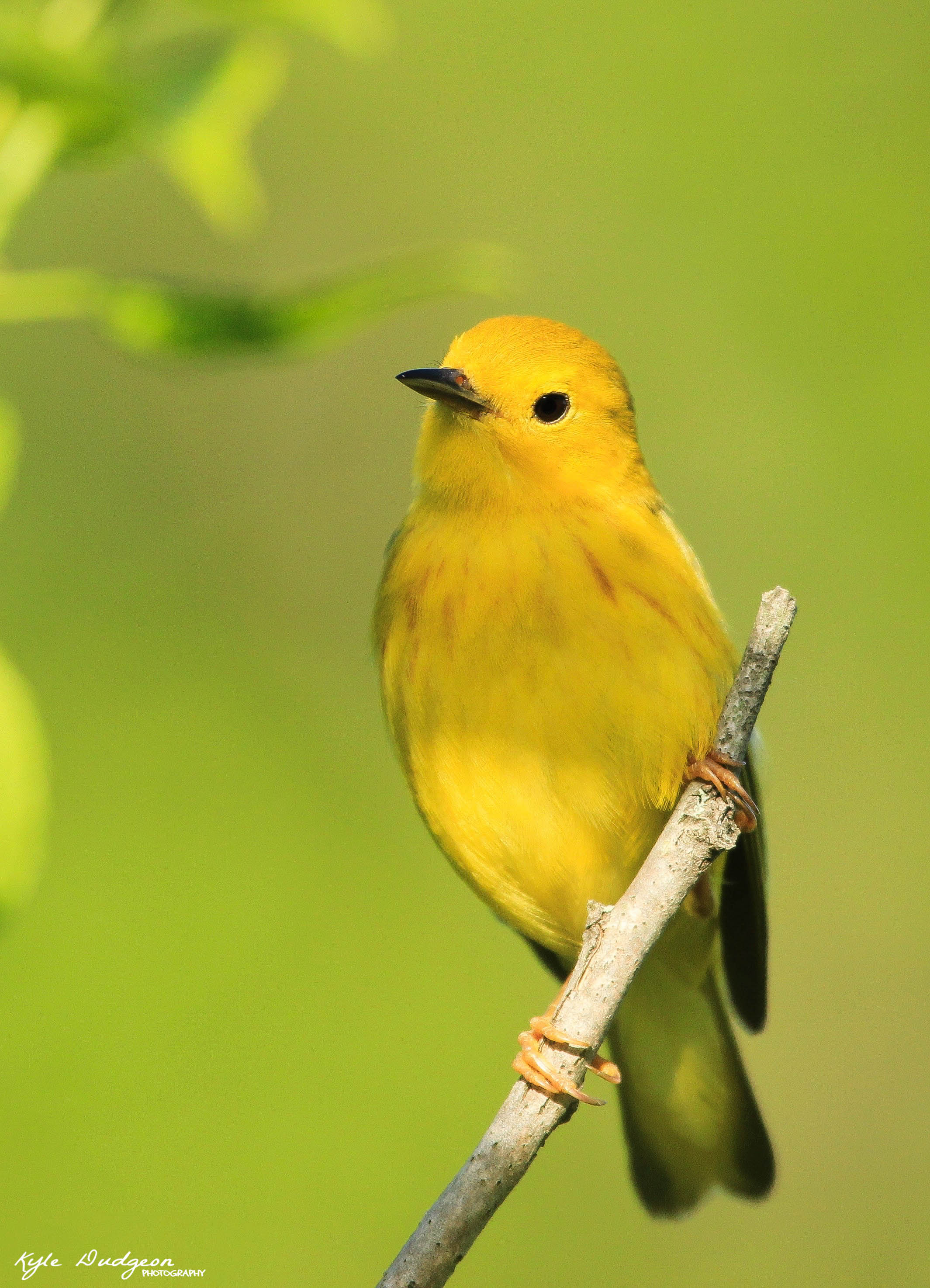 Yellow warbler in spring.