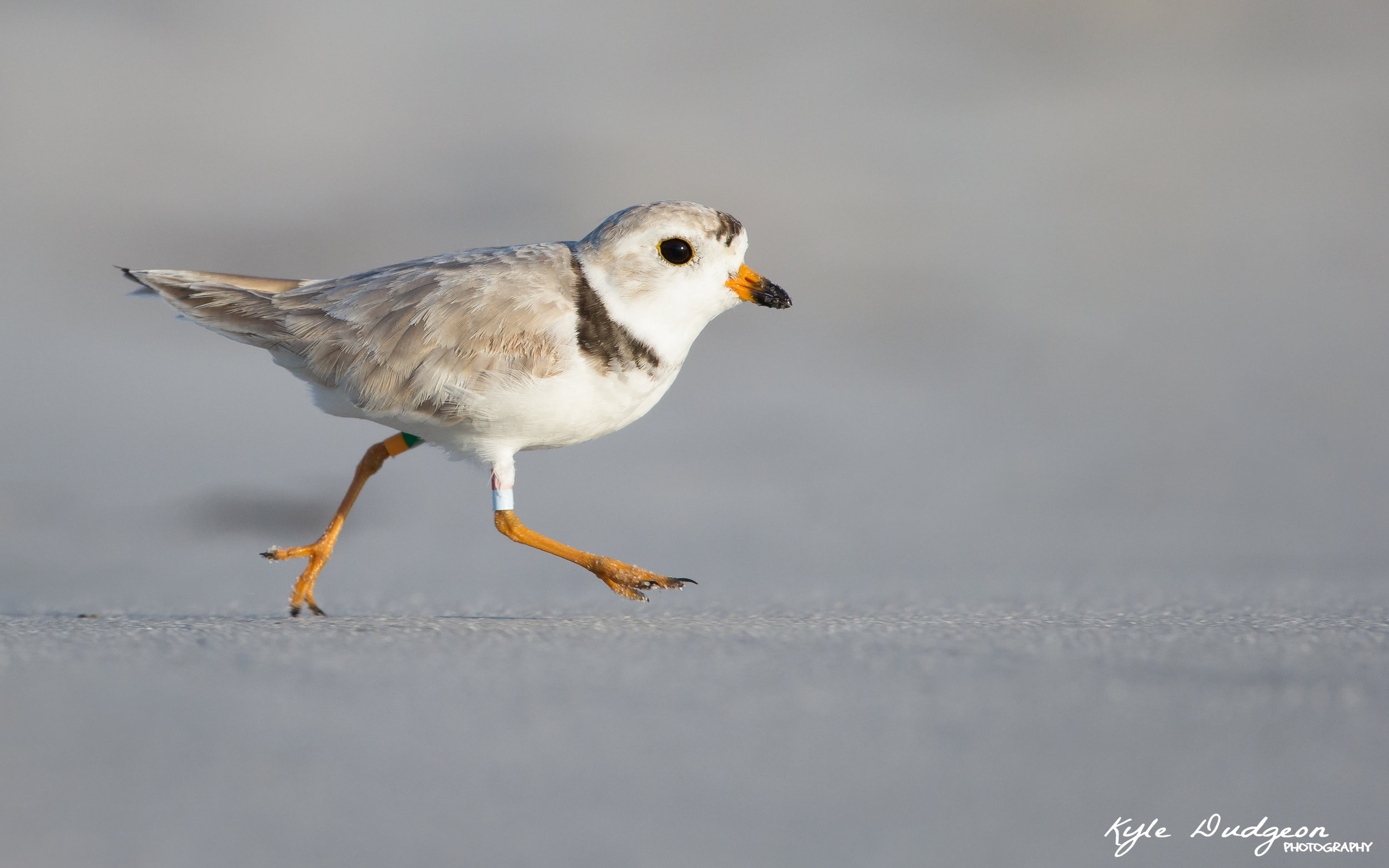 Smalls, one of the craziest piping plovers in all of New Jersey!