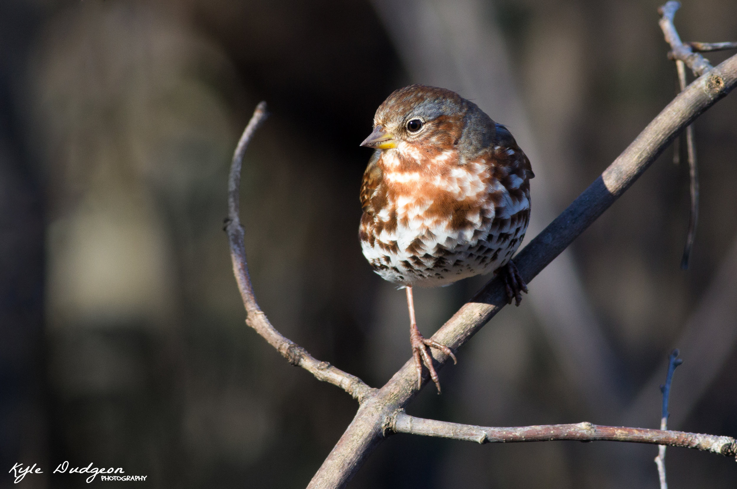 Fox sparrow in the open! 11/4/16.