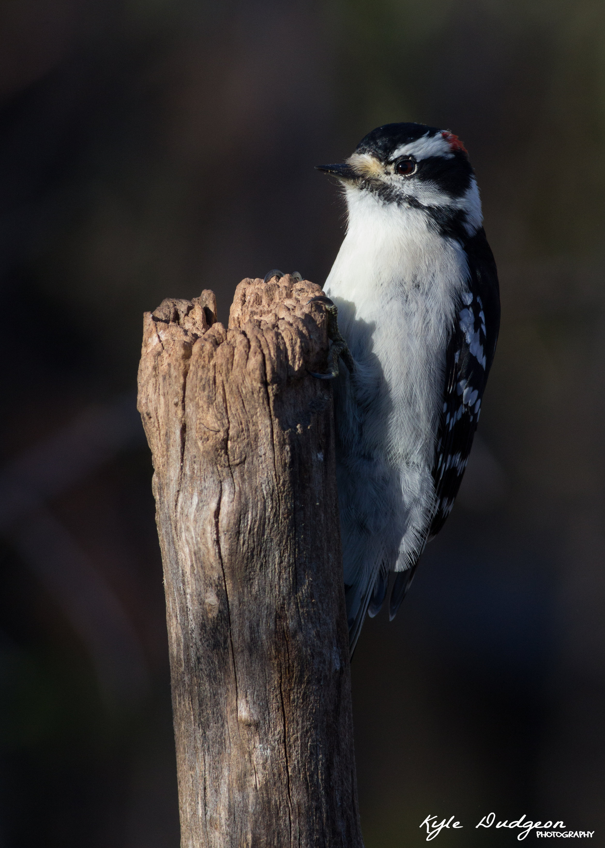 Downy woodpecker on a nice perch. There is a TON of detail here. 11/4/16.