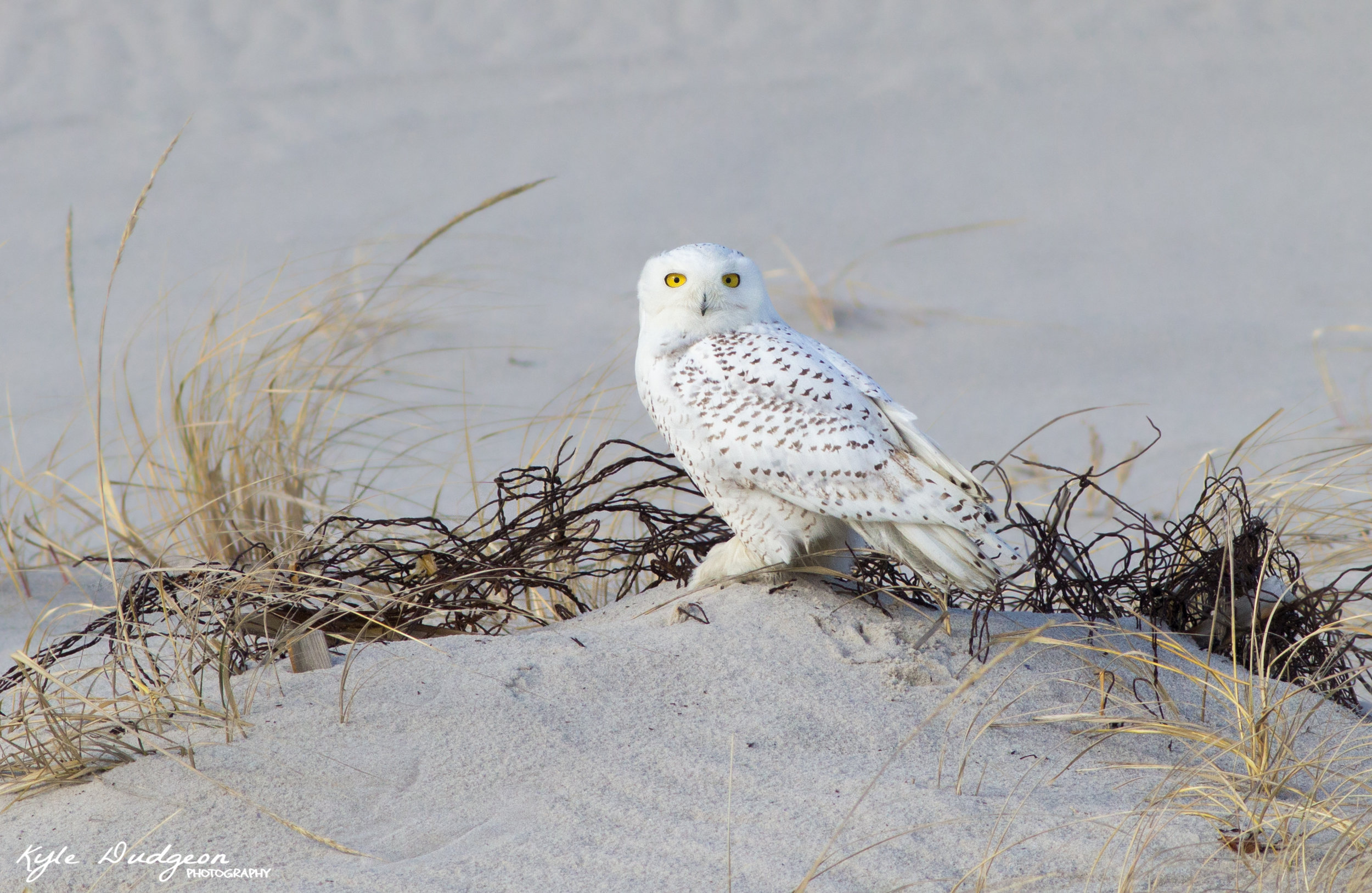 Sometimes capturing the bird in its surrounding environment is just as interesting as a close up portrait. In this case, this snowy owl was a bit distant, so rather than disturbing it by moving forward, I decided to take an image that would capture the surrounding environment as well as the bird. The background isn't perfectly solid, but dunes and grass complete the foreground with more of the same features. Most importantly, the bird is unobstructed.