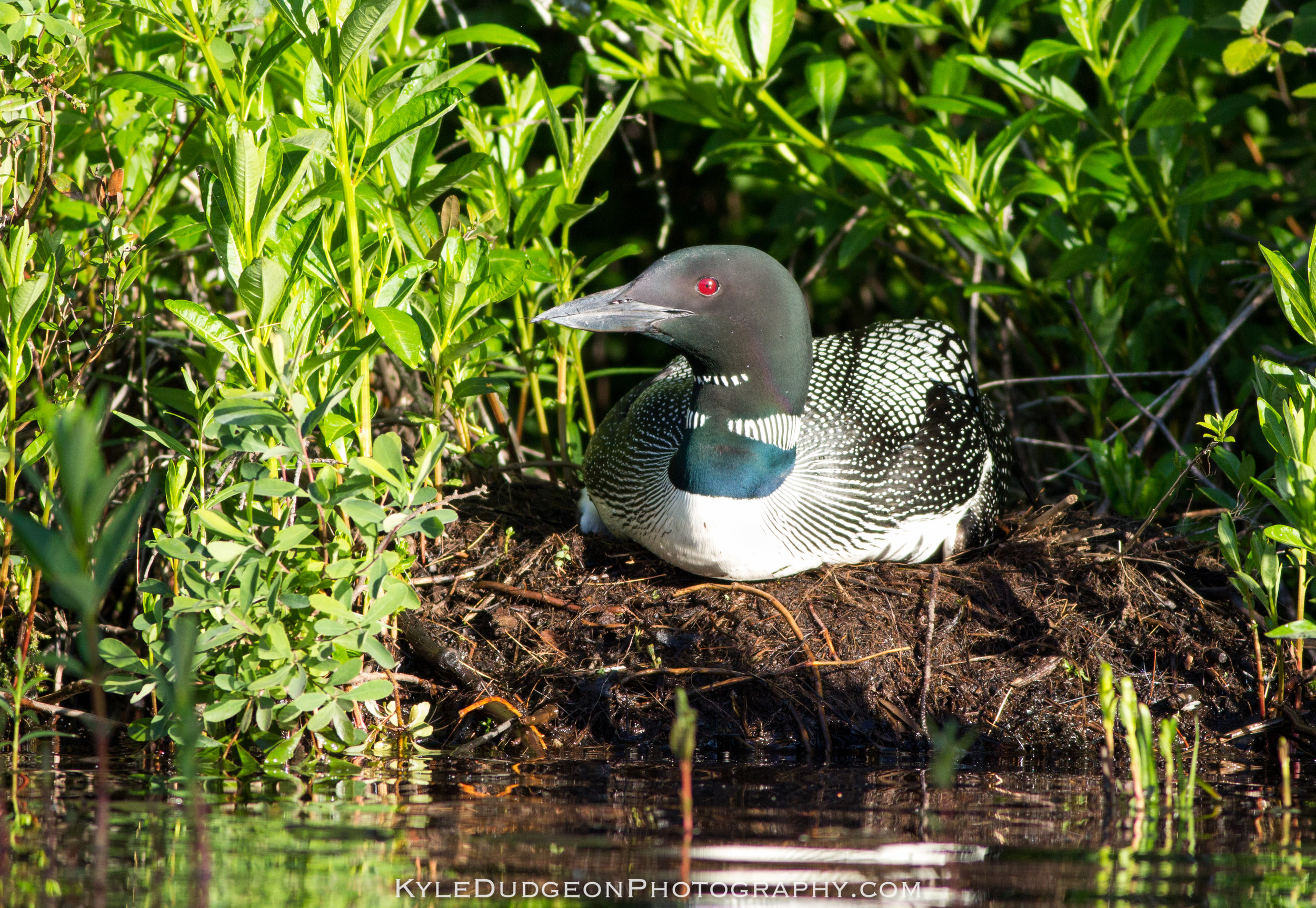 Common loon on the nest.Matt spotted the nest as we paddled by 6/25/17.