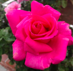 simply breathe pink rose.png