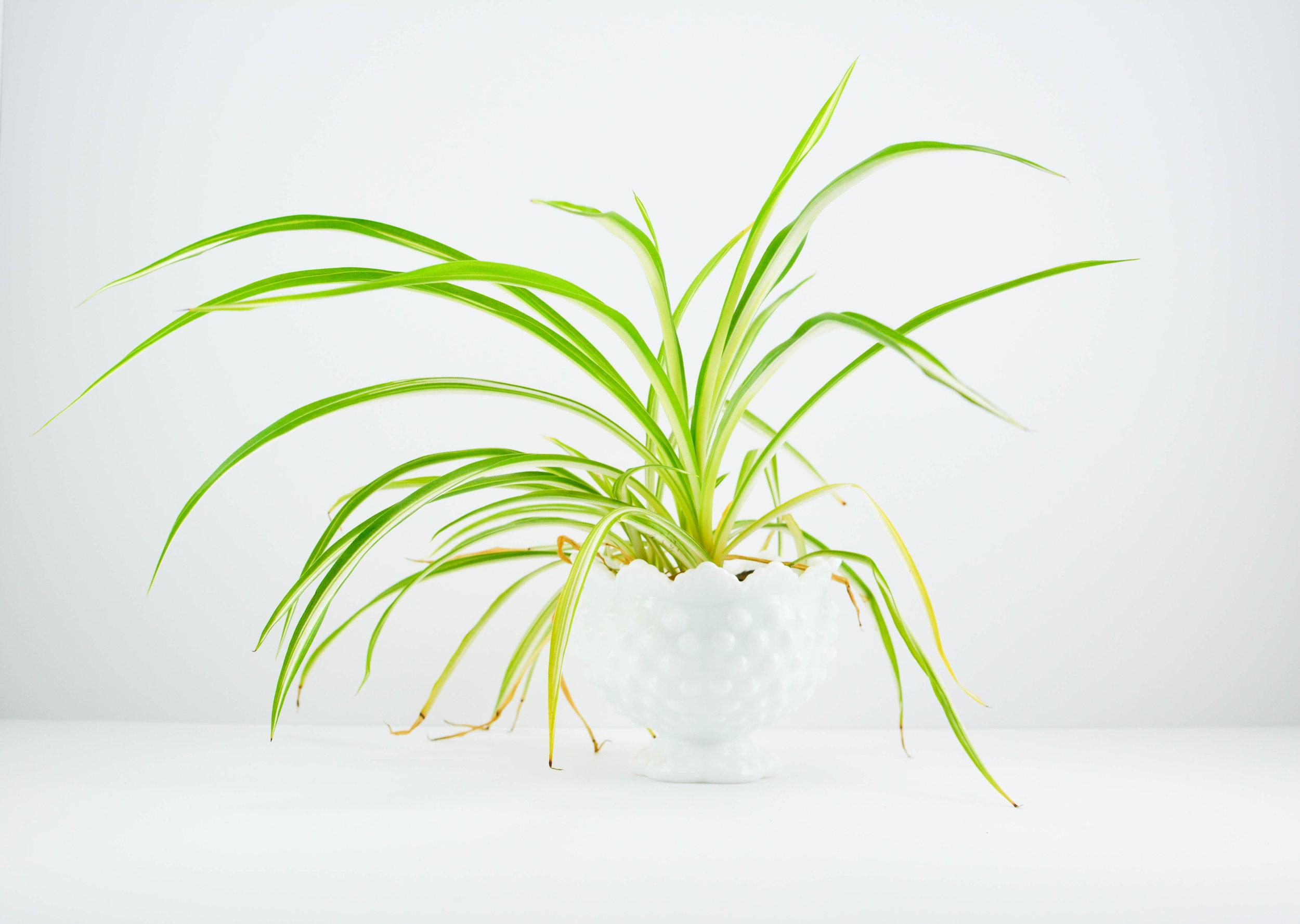 Kat Murphy,  Plant in Milk Glass Bowl