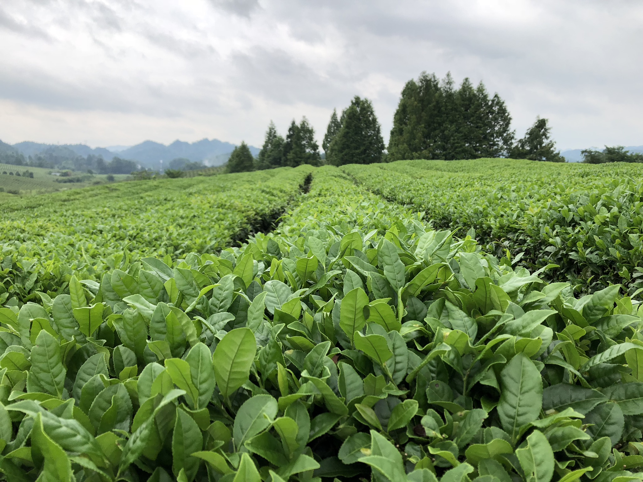 Sea of Tea - Have you ever wondered how tea is grown and cultivated? You'll find out! Bonus: The kids (and parents) get to learn about and taste different types of tea.