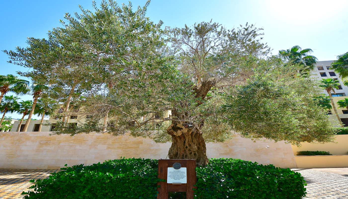 700 years old olive tree (Kempinski Hotel Ishtar Dead Sea)