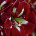 amaryllis-barbados-150x150.jpg